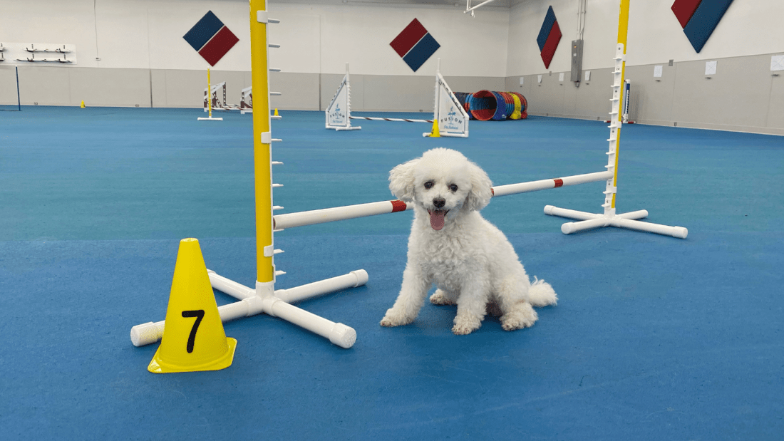 Toy poodle Quixote at the dog agility gym