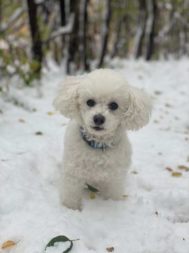 Toy poodle Quixote in snow