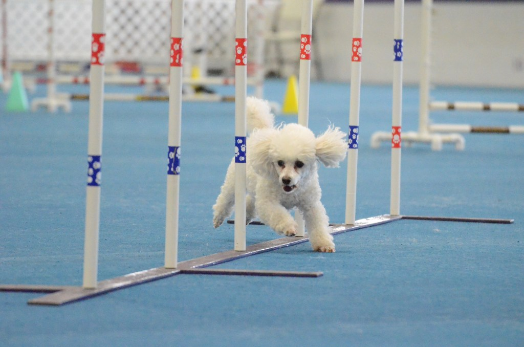 Toy poodle Quixote in agility weave poles