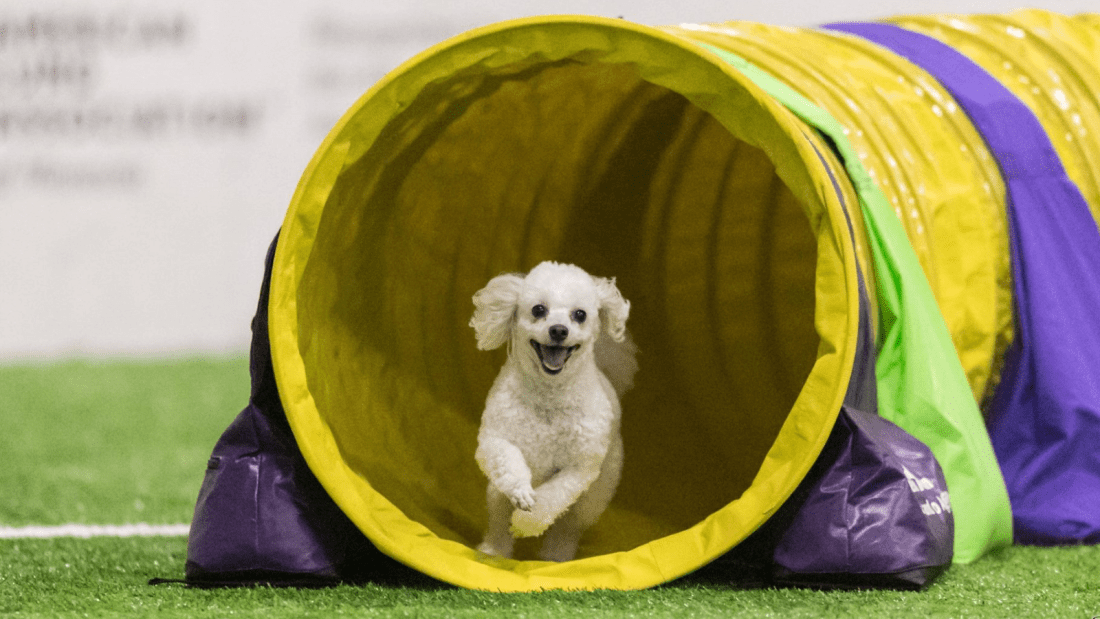 Toy poodle Quixote runs through agility tunnel
