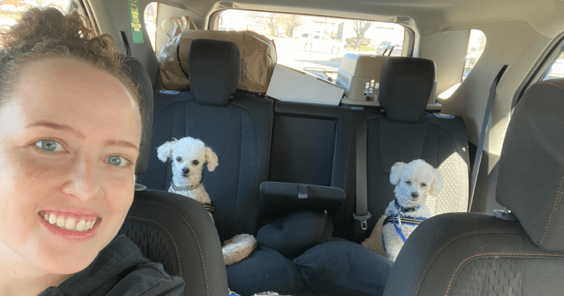 Poodles in the car